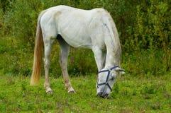 Vit häst som betar i ett fält bredvid floden IJssel nära staden av Wijhe och staden av Zwolle Arkivbilder