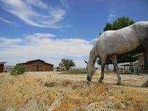 Vit häst som betar med ladugårdbakgrunden arkivbild