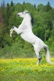 Vit häst som fostrar upp på ängen Arkivbilder
