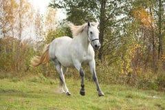 Vit häst som fritt galopperar i höst Royaltyfri Foto