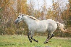 Vit häst som fritt galopperar i höst Arkivbild