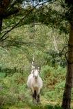 Vit häst som galopperar till och med skog royaltyfri foto