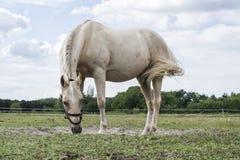 Vit häst som grånar på äng i sommar med mulen himmel Royaltyfri Fotografi