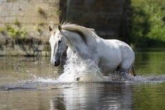 Vit häst som har gyckel i floden arkivfoton
