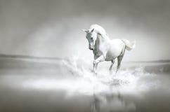 Vit häst som kör till och med vatten