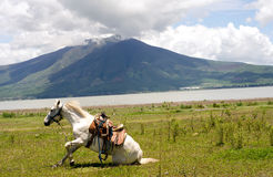 Vit häst som knealing efter en rulle royaltyfri foto