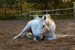 Vit häst som ligger på jordningen Royaltyfri Foto