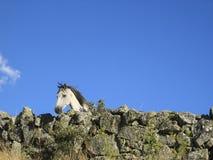Vit häst som ser över ett stenstaket royaltyfria bilder