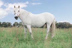 Vit häst som ser direkt in i kameran som står i fälten royaltyfria foton
