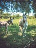 Vit häst under trädet royaltyfri bild
