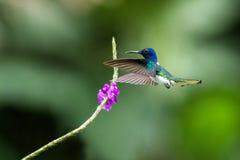 Vit-hånglad jocobin som i flykten svävar bredvid den violetta blomman, fågel, tropisk skog, Brasilien, naturlig livsmiljö royaltyfri bild