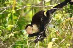 Vit-hövdad capuchin, äta som är uppochnervänt arkivbilder