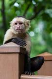 Vit-hövdad capuchin - Cebus capucinus Royaltyfri Bild