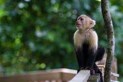 Vit-hövdad capuchin - Cebus capucinus Royaltyfri Fotografi