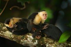 Vit-hövdad Capuchin, Cebus capucinus, svart apasammanträde på trädfilialen i den mörka vändkretsskogen, djur i naturmumlen royaltyfri foto