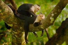 Vit-hövdad Capuchin, Cebus capucinus, svarta apor som sitter på trädfilialen i den mörka tropiska skogen, djur i royaltyfria bilder