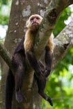 Vit hövdad capuchin - den Cebus capucinusen - Pura Vida royaltyfria foton