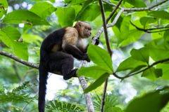 Vit hövdad capuchin - den Cebus capucinusen - Pura Vida royaltyfri fotografi