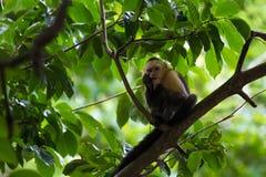 Vit hövdad capuchin - den Cebus capucinusen - Pura Vida royaltyfri foto