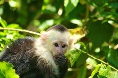 Vit-hövdad capuchin som äter royaltyfria foton