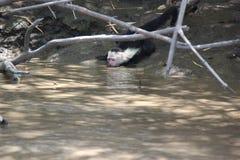 Vit-hövdad capuchin som dricker med stängda ögon Royaltyfria Bilder