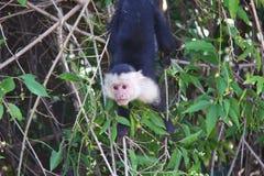 Vit-hövdad capuchin som hänger Royaltyfri Bild