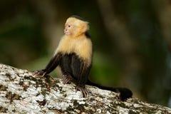 Vit-hövdad Capuchin, svart apasammanträde på trädfilialen i den mörka vändkretsskogCebus capucinusen i greevändkretsvegetatio fotografering för bildbyråer