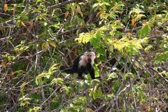 Vit-hövdad capuchin, yum Arkivbild