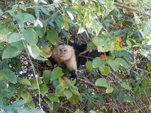 Vit-hövdad Capuchinapa i träd Arkivfoto