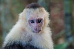 Vit-hövdad capuchinapaCebus capucinus i nationalparken Manuel Antonio, Costa Ri royaltyfri foto