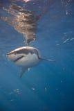 Vit haj för stående arkivbild