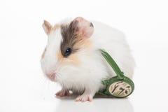 Vit hamster på vit bakgrund Arkivfoton