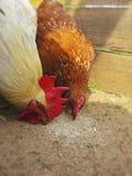 Vit hane och brunthöna som in pickar matning gården Royaltyfri Foto
