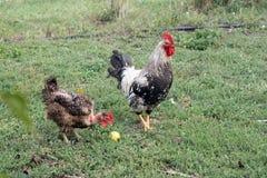 Vit hane och höna Arkivbild