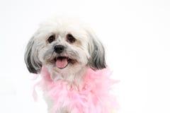Vit Havanese hund med den rosa boaen royaltyfri fotografi