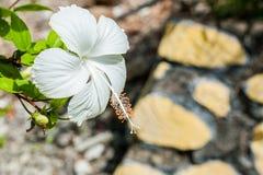 Vit hibiskus Royaltyfria Bilder