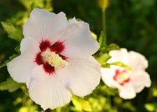 Vit hibiskus Royaltyfri Fotografi