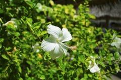 Vit hibiskus för tropisk blomma på den gröna busken Blomma med vita kronblad Royaltyfri Bild
