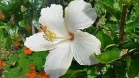 Vit hibiskusblom på Okinawa arkivfoto