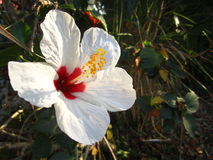 Vit hibiskusblomma Royaltyfri Foto