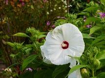 Vit hibiskusblomma Arkivfoto