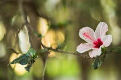 Vit hibiskusblomma Royaltyfria Foton
