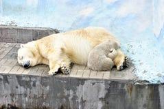 Vit hon-björn och liten björn Arkivfoto