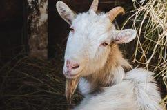 Vit horned get som vilar i en ladugård royaltyfria bilder