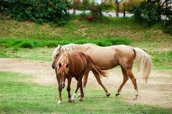 Vit häst bara i ett fält Arkivbilder
