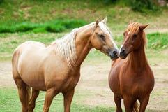 Vit häst bara i ett fält Royaltyfri Foto