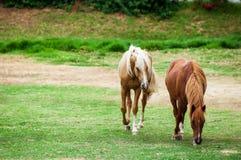 Vit häst bara i ett fält Fotografering för Bildbyråer