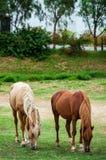 Vit häst bara i ett fält Arkivbild