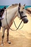 Vit häst för Closeup med selesadeln på stranden mot havet Arkivfoto