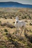 Vit häst i morgonen som fritt kör på vis borsteprärie Arkivbild